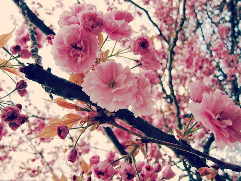 cherry blossom pastel pink