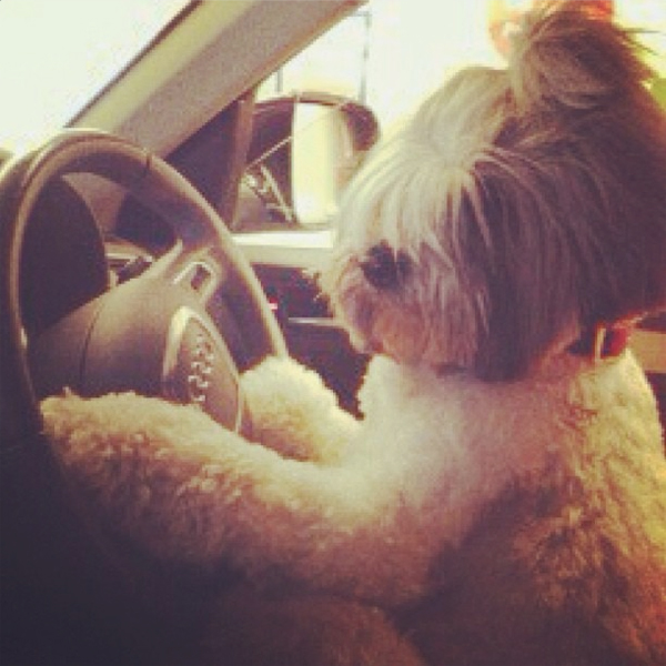 dog bullit drives to paris fashion week
